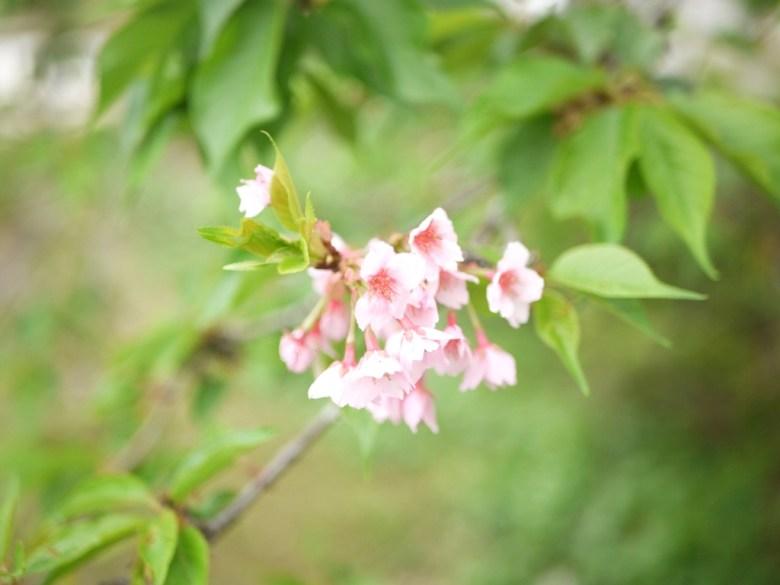 粉嫩綺麗的河津櫻 | 小半天石馬公園 | Shih Ma Park | 櫻花公園 | 日式公園 | 和風巡禮 | 巡日旅行攝
