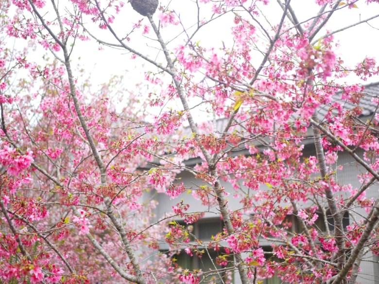 鳳凰教育中心前 | 粉紅河津櫻 | 鹿谷 | 南投 | 南投鳳凰自然教育園區 | 和風臺灣 | 巡日旅行攝