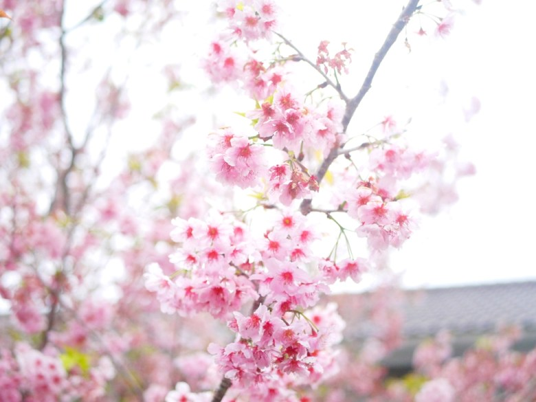 盛開的粉嫩河津櫻 | 粉嫩浪漫 | 南投鳳凰自然教育園區 | Lugu | Nantou | Wafu Taiwan | RoundtripJp