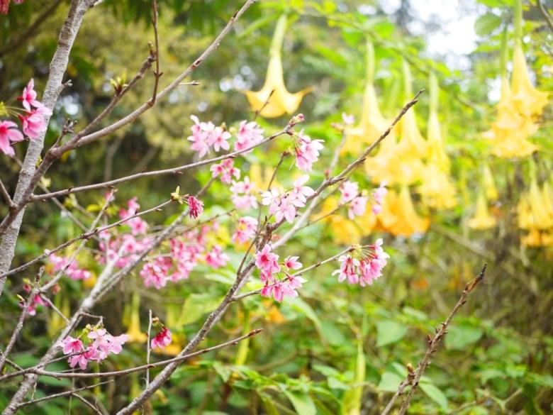 山櫻花 | 黃花曼陀羅 | 自然生態 | ルーグー | Lugu | Nantou | RoundtripJp
