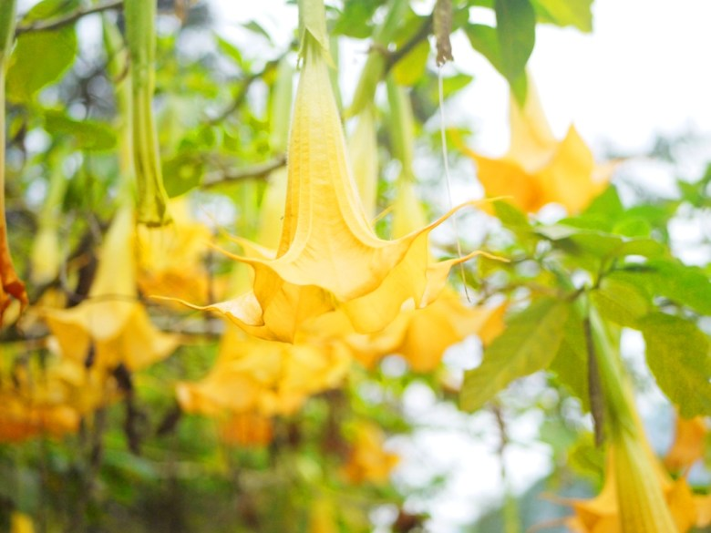 黃花曼陀羅 | 造型奇特的美麗黃花 | 南投鳳凰自然教育園區 | 鹿谷 | 南投 | 巡日旅行攝