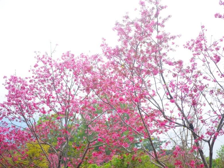 鋪天蓋地的櫻花 | 河津櫻 | 日本風味 | 南投鳳凰自然教育園區 | 鹿谷 | 南投 | 巡日旅行攝