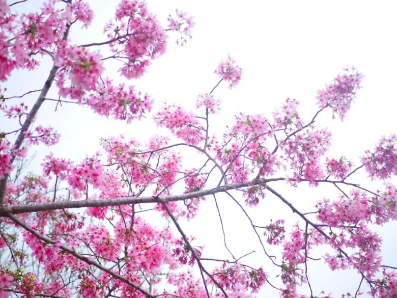 滿開的河津櫻 | 濃濃日式風情 | 櫻花秘境 | 南投鳳凰自然教育園區 | ルーグー | Lugu | Nantou | RoundtripJp