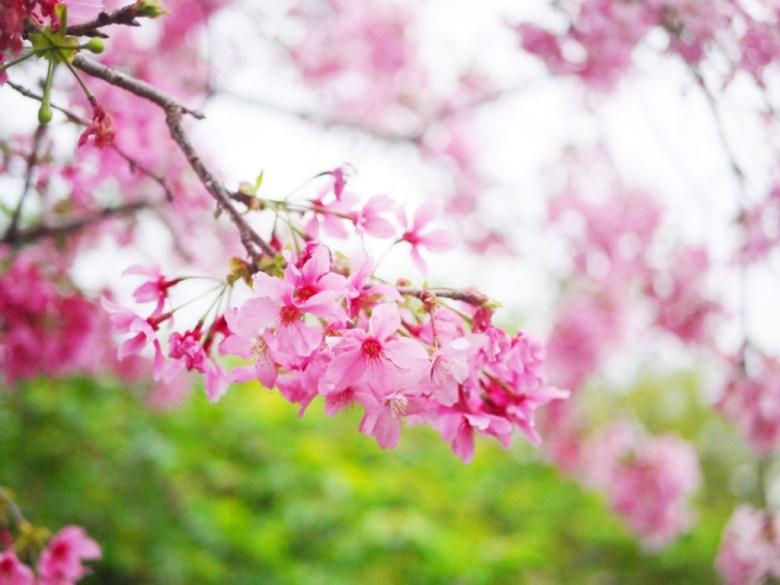 粉紅的河津櫻 | 濃濃日本風 | 和風景點 | 櫻花秘境 | 南投鳳凰自然教育園區 | ルーグー | Lugu | Nantou | RoundtripJp