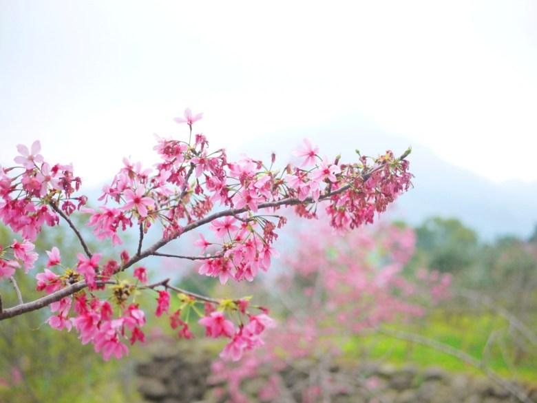 櫻花與霧氣濃烈的高山 | 日本味 | 南投鳳凰自然教育園區 | 鹿谷 | 南投 | 巡日旅行攝
