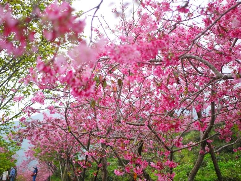 貼近櫻花之美 | 感受日本味 | 南投鳳凰自然教育園區 | 鹿谷 | 南投 | 巡日旅行攝