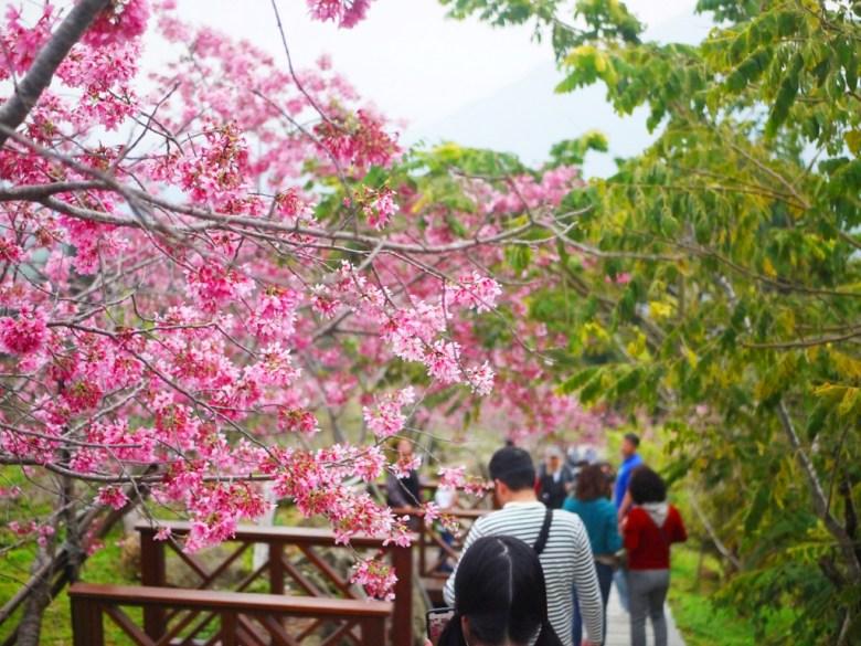 滿是賞櫻與等著拍照的臺灣旅人 | 人潮眾多 | 與櫻花的距離 | 南投鳳凰自然教育園區 | ルーグー | Lugu | Nantou | RoundtripJp