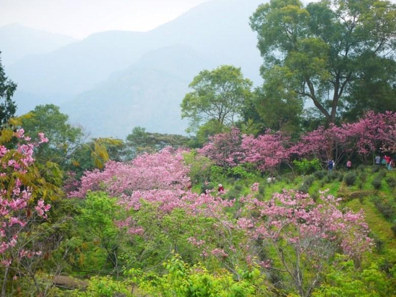 眺望櫻花園區之美 | 日式景點 | 南投鳳凰自然教育園區 | 鹿谷 | 南投 | 巡日旅行攝