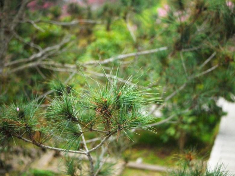 園區內的松樹之美 | 自然氛圍 | 大自然 | 南投鳳凰自然教育園區 | ルーグー | Lugu | Nantou | RoundtripJp