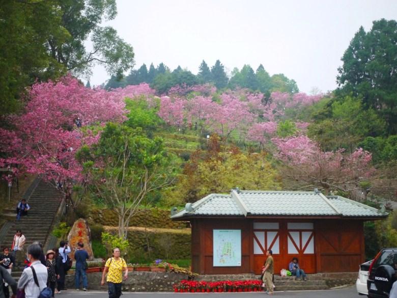 仰望整個櫻花園區 | 臺灣旅人 | 小木屋 | 南投鳳凰自然教育園區 | ルーグー | Lugu | Nantou | RoundtripJp
