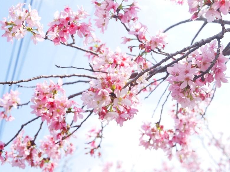 粉嫩的天空 | 日本富士櫻 | 小豆櫻 | 少女系顏色 | しんしゃ | Xinshe | Taichung | 和風巡禮 | RoundtripJp