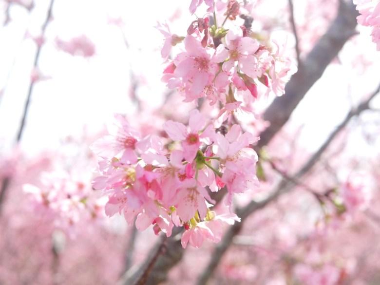滿滿粉紅色包圍的富士櫻秘境 | 少女夢幻秘境 | 日本味 | しんしゃ | Xinshe | Taichung | RoundtripJp