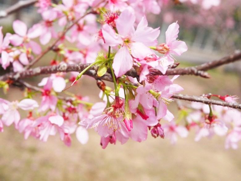 超級粉嫩 | 小豆櫻 | 富士櫻 | 日本櫻花 | 富士櫻の櫻花秘境 | 新社 | 台中 | 巡日旅行攝