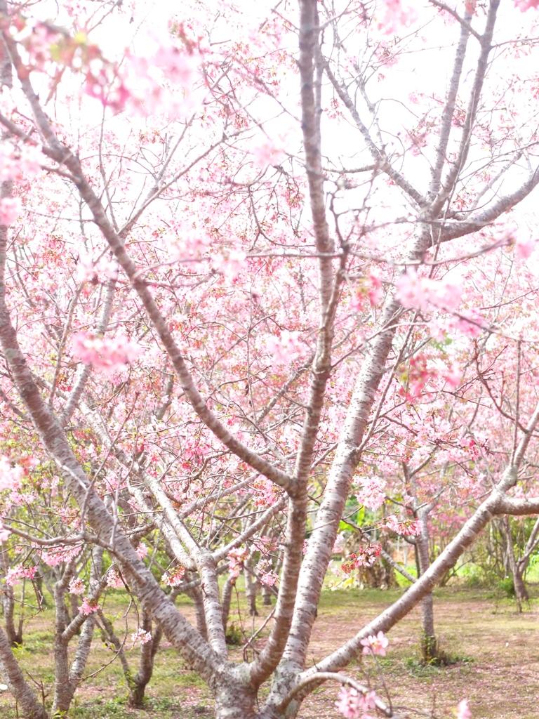 一望無際的櫻花秘境 | 滿滿富士櫻 | 日本味 | 富士櫻の新社月湖莊園 | 新社 | 台中 | RoundtripJp