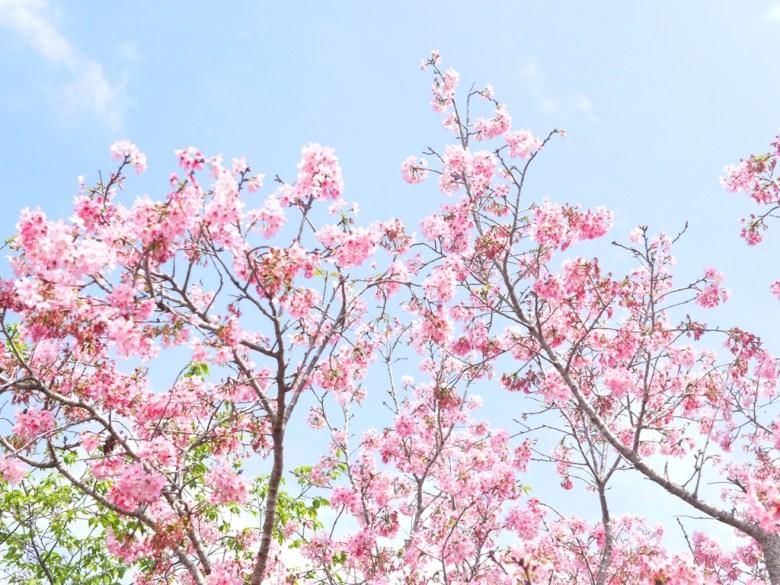 陽光燦爛的藍天與粉嫩的富士櫻 | 可愛迷人 | 日本味 | 富士櫻の櫻花秘境 | 新社 | 台中 | RoundtripJp