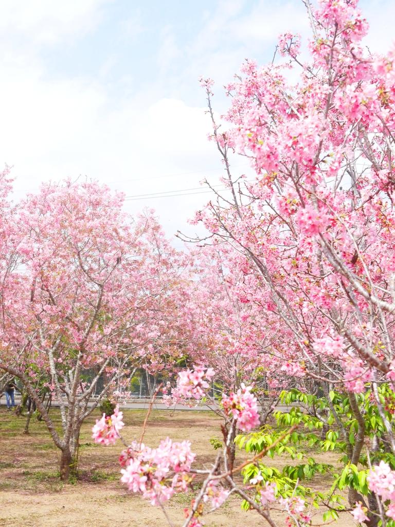 一層層堆疊的富士櫻花海 | 觀光客不多 | 相當好拍 | 富士櫻の櫻花秘境 | 新社 | 台中 | RoundtripJp