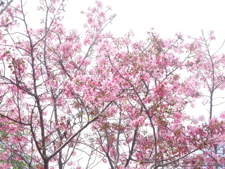 唯美富士櫻 | 小豆櫻 | Sakura | さくら | サクラ | 富士櫻の櫻花秘境 | 新社 | 台中 | 巡日旅行攝