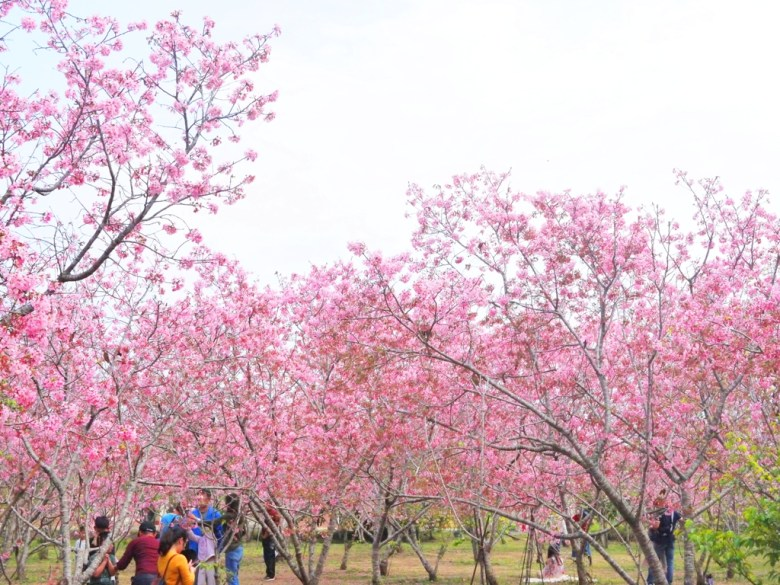 賞櫻拍照民眾 | 臺灣旅人 | 滿滿富士櫻 | 富士櫻の櫻花秘境 | 新社 | 台中 | RoundtripJp