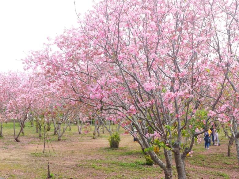 滿滿的富士櫻 | 臺灣旅人| 富士櫻の櫻花秘境 | 新社 | 台中 | RoundtripJp