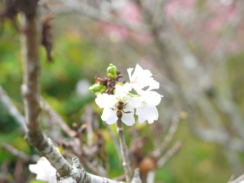 蜜蜂與墨染櫻 | 有香味的櫻花 | 香水櫻 | 墨染櫻 | 變色櫻 | 富士櫻の櫻花秘境 | しんしゃ | Xinshe | Taichung | RoundtripJp