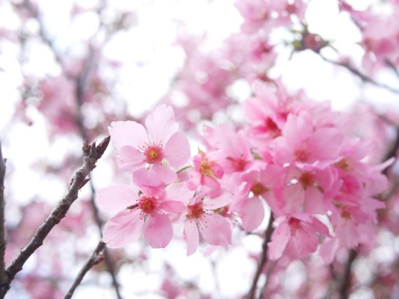 小巧迷人的富士櫻 | 富士櫻の櫻花秘境 | しんしゃ | Xinshe | Taichung | RoundtripJp
