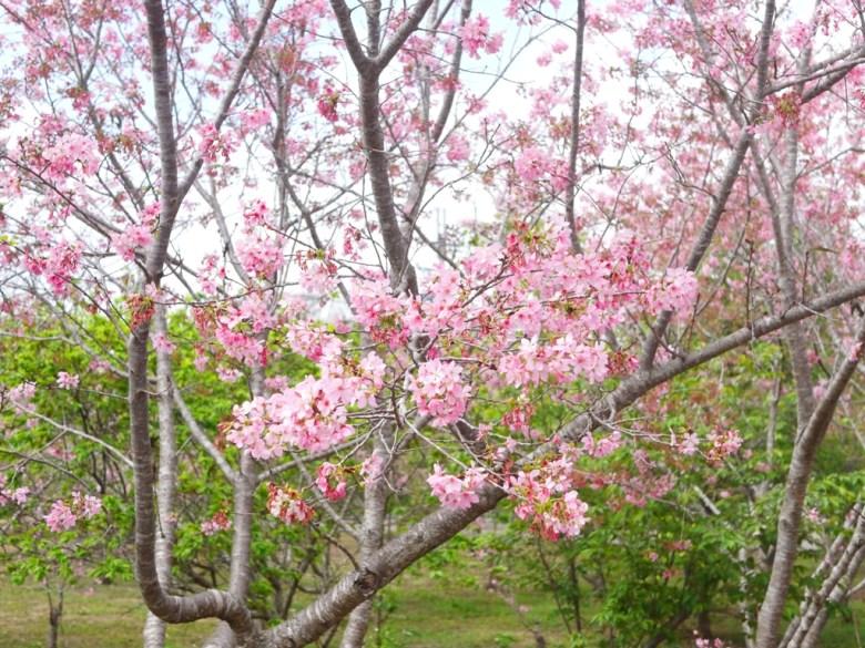 盛開的富士櫻 | 小豆櫻 | 自然清新的空間 | 富士櫻の櫻花秘境 | 新社 | 台中 | 巡日旅行攝