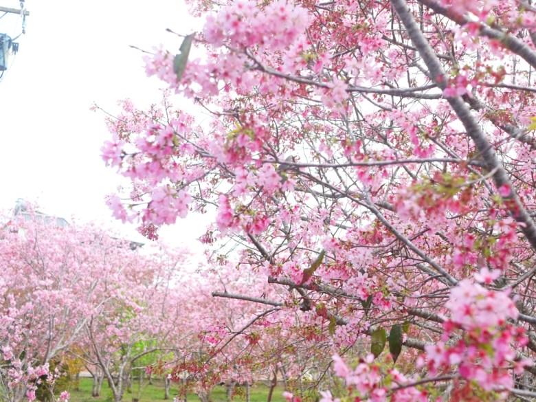 粉紅富士櫻 | 翠綠的綠色草皮 | 富士櫻の櫻花秘境 | しんしゃ | Xinshe | Taichung | RoundtripJp