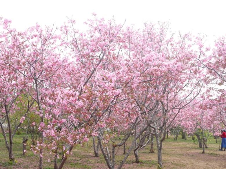 富士櫻 | 拍照民眾 | 臺灣旅人 | 賞花民眾 | 富士櫻の櫻花秘境 | 新社 | 台中 | 巡日旅行攝