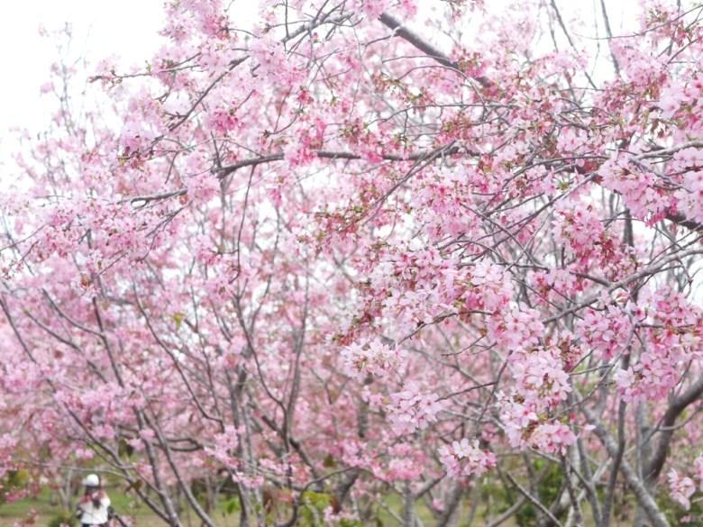 賞櫻少女 | 滿是富士櫻 | 萬千富士櫻櫻花 | 富士櫻の櫻花秘境 | しんしゃ | Xinshe | Taichung | RoundtripJp