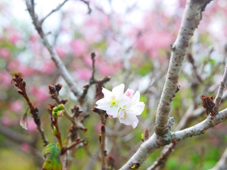 正在變色的墨染櫻 | 香水櫻 | 墨染櫻 | 變色櫻 | 有香味的櫻花 | 富士櫻の櫻花秘境 | しんしゃ | Xinshe | Taichung | RoundtripJp