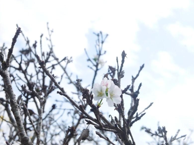 正在開花的墨染櫻 | 尚未滿開 | 香水櫻 | 墨染櫻 | 變色櫻 | 有香味的櫻花 | 富士櫻の櫻花秘境 | 新社 | 台中 | 巡日旅行攝