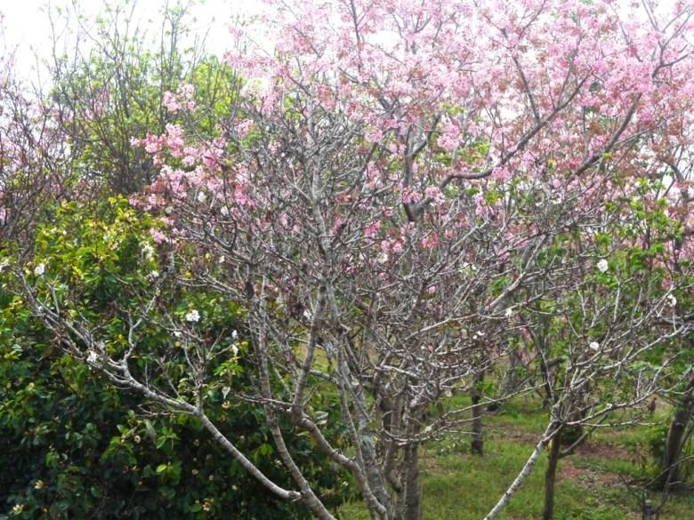 少數的墨染櫻 | 香水櫻 | 墨染櫻 | 變色櫻 | 有香味的櫻花 | 富士櫻の櫻花秘境 | しんしゃ | Xinshe | Taichung | RoundtripJp