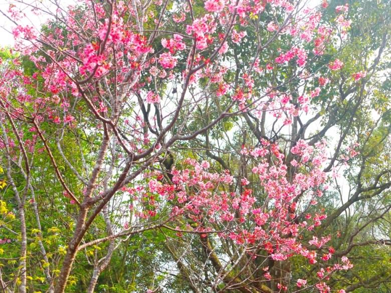 盛開的美麗櫻花 | 吉野櫻 | 日本風情 | 金龍山觀景臺 | 魚池 | 南投 | ユーチー | Yuchi | Nantou | 巡日旅行攝