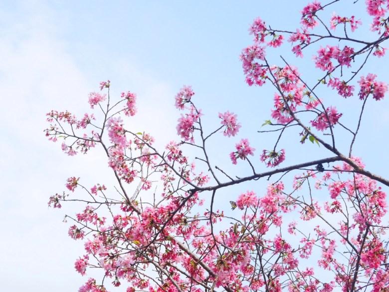 櫻花與蝴蝶 | 吉野櫻 | 青空 | 日本風情 | 金龍山觀景臺 | 魚池 | 南投 | ユーチー | Yuchi | Nantou | RoundtripJp