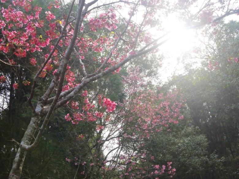 陽光燦爛 | 吉野櫻 | 櫻花盛開 | 魚池 | 南投 | ユーチー | Yuchi | Nantou | 巡日旅行攝