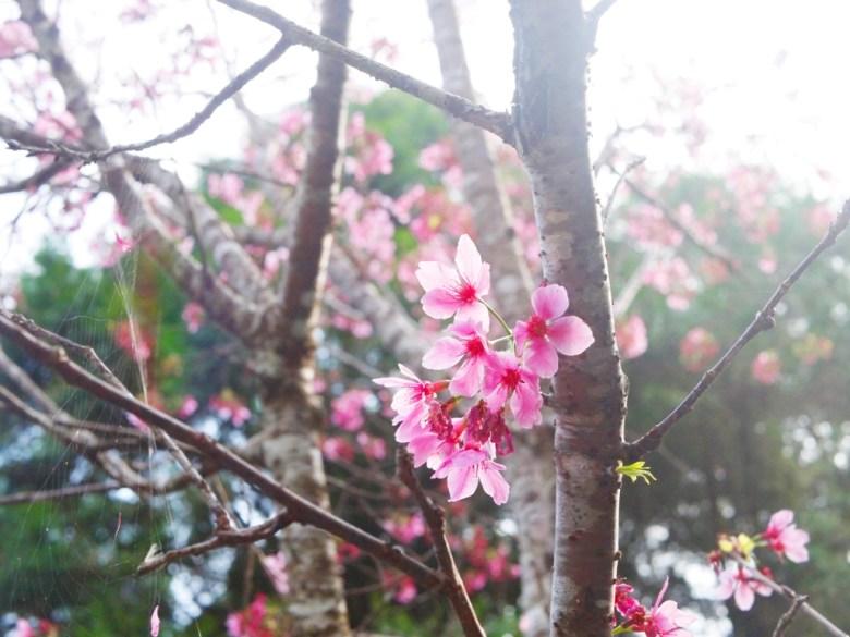 吉野櫻 | 粉紅粉嫩 | 自然 | 日本風情 | 金龍山觀景臺 | 魚池 | 南投 | ユーチー | Yuchi | Nantou | RoundtripJp