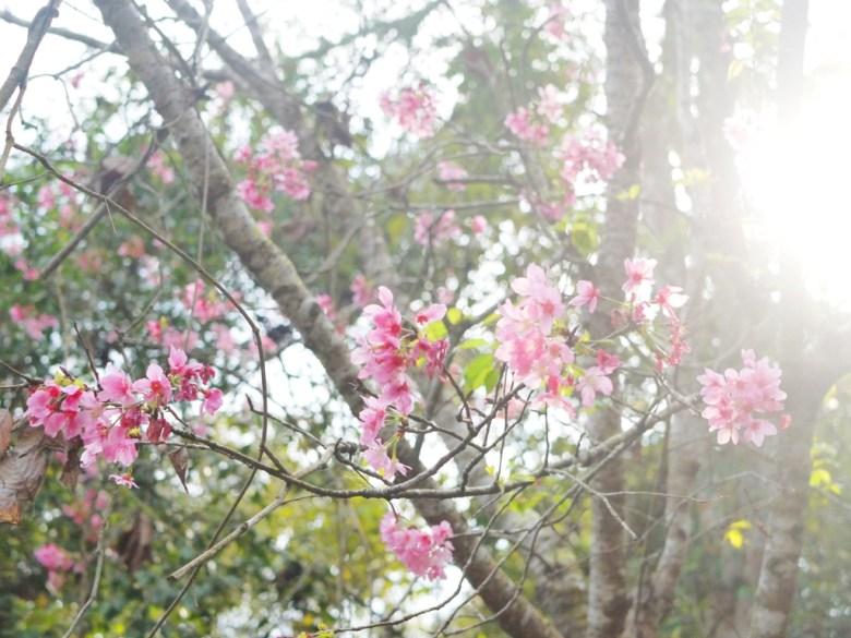 陽光燦爛 | 櫻花 | 吉野櫻 | 金龍山觀景臺 | 魚池 | 南投 | ユーチー | Yuchi | Nantou | 巡日旅行攝