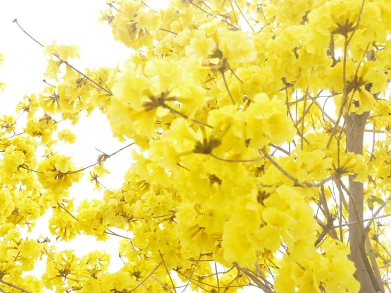 黃金般的花卉 | 滿開的黃花風鈴木 | 芬園鄉139縣道 | ふんえん | ジャンホワ | 巡日旅行攝