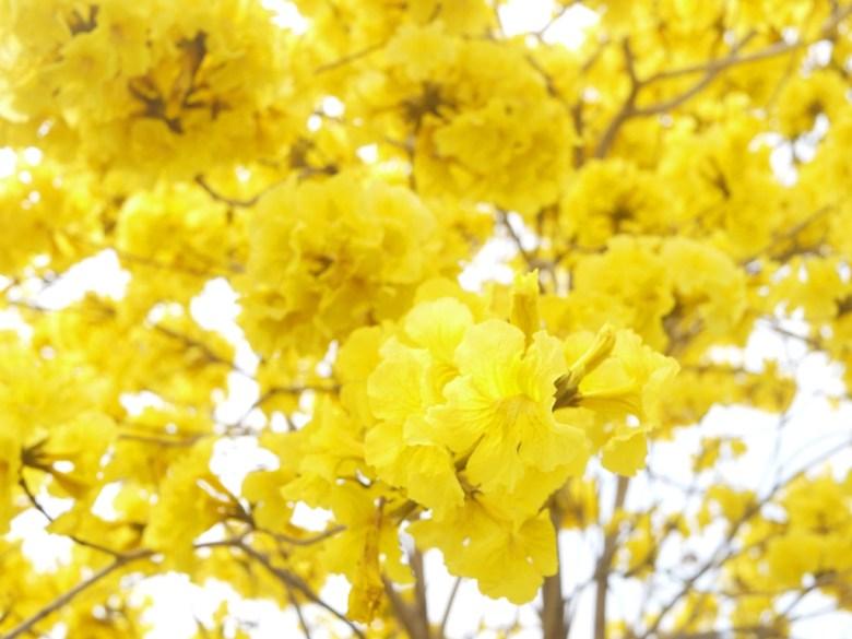 絕美的黃金色花卉畫面 | 黃花風鈴木 | 芬園鄉139縣道 | ふんえん | ジャンホワ | RoundtripJp