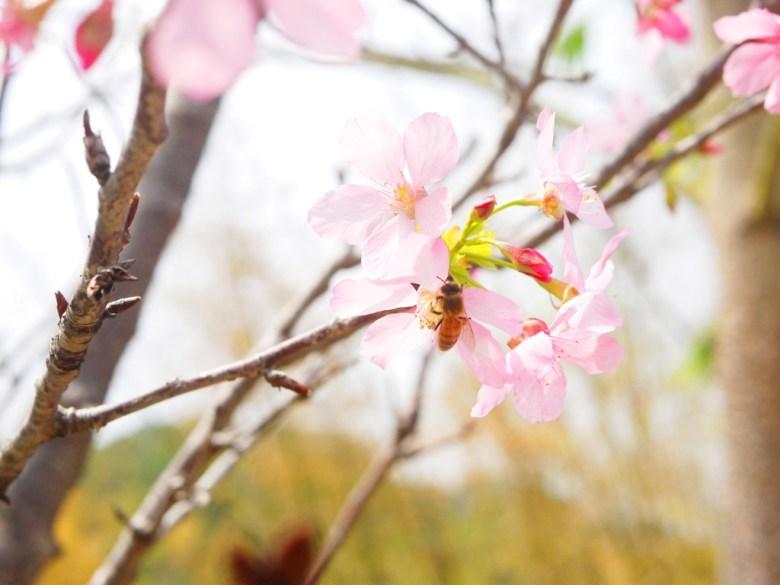 蜂與櫻花 | 富士櫻 | 粉紅 | 日本風情 | 芬園鄉139縣道 | Fenyuan | Changhua | 巡日旅行攝