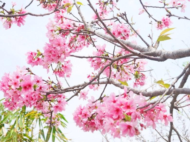 粉紅色天空 | 櫻花與天空 | 富士櫻 | 盛開 | 芬園鄉139縣道 | ふんえん | ジャンホワ | RoundtripJp