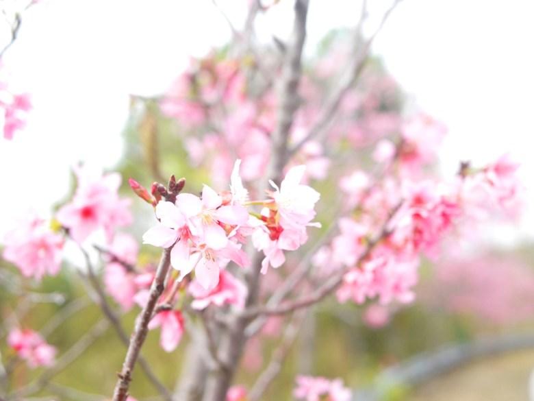 盛開的富士櫻 | 139縣道 | 富士櫻 | 盛開 | 芬園鄉139縣道 | ふんえん | ジャンホワ | RoundtripJp