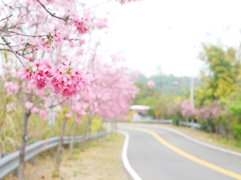 美麗的櫻花大道 | 富士櫻 | Sakura | さくら | サクラ | 芬園鄉139縣道 | Fenyuan | Changhua | 巡日旅行攝