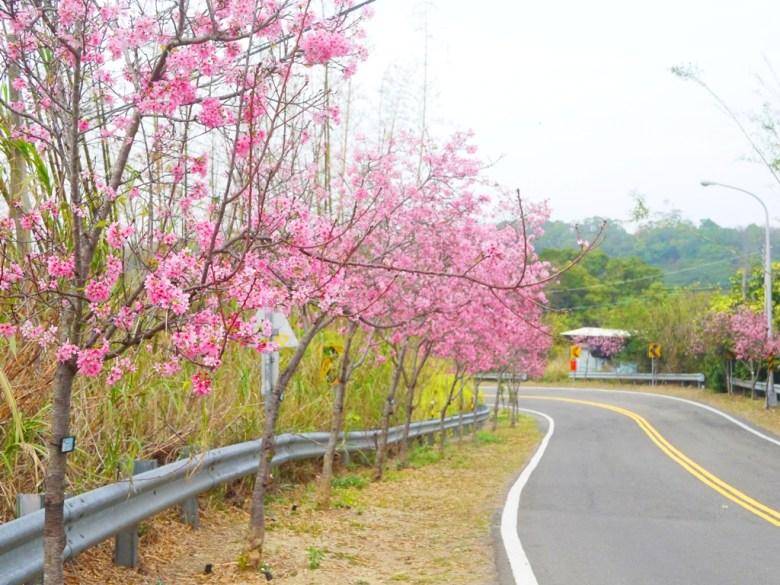 粉嫩的櫻花大道 | 富士櫻 | Sakura | さくら | サクラ | 芬園鄉139縣道 | Fenyuan | Changhua | 巡日旅行攝