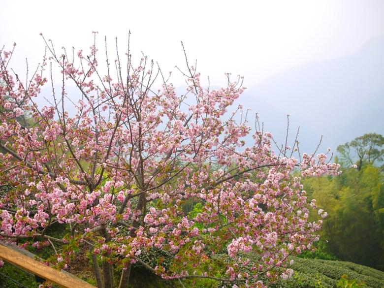 櫻花與茶園 | 雲霧繚繞 | 海拔1,300公尺 | 南投八卦茶園 | 竹山 | 南投 | 和風臺灣 | 巡日旅行攝