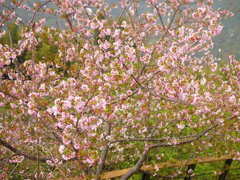 盛開的吉野櫻 | Sakura | さくら | サクラ | ジューシャン | Zhushan | Nantou | 和風巡禮 | RoundtripJp