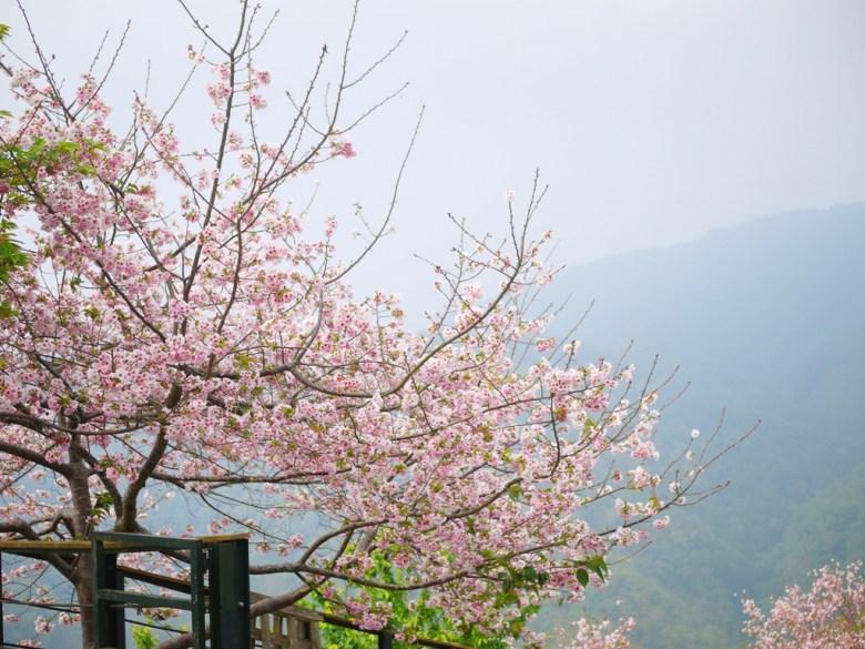 盛開的吉野櫻 | 滿滿的日本味 | 賞櫻 | 高山霧氣 | 海拔1,300公尺 | 南投八卦茶園 | 竹山 | 南投 | 巡日旅行攝