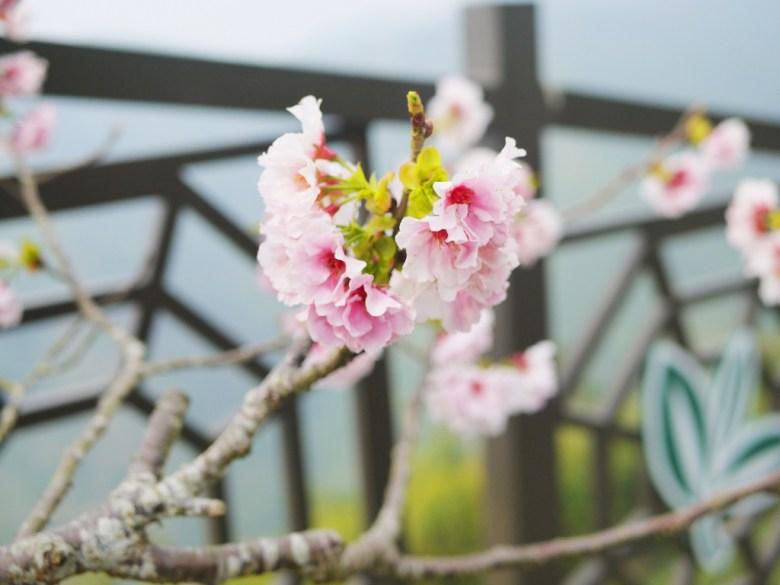 竹山茶鄉中的絕美櫻花 | 吉野櫻 | 高山櫻花 | 南投八卦茶園 | 竹山 | 南投 | 巡日旅行攝