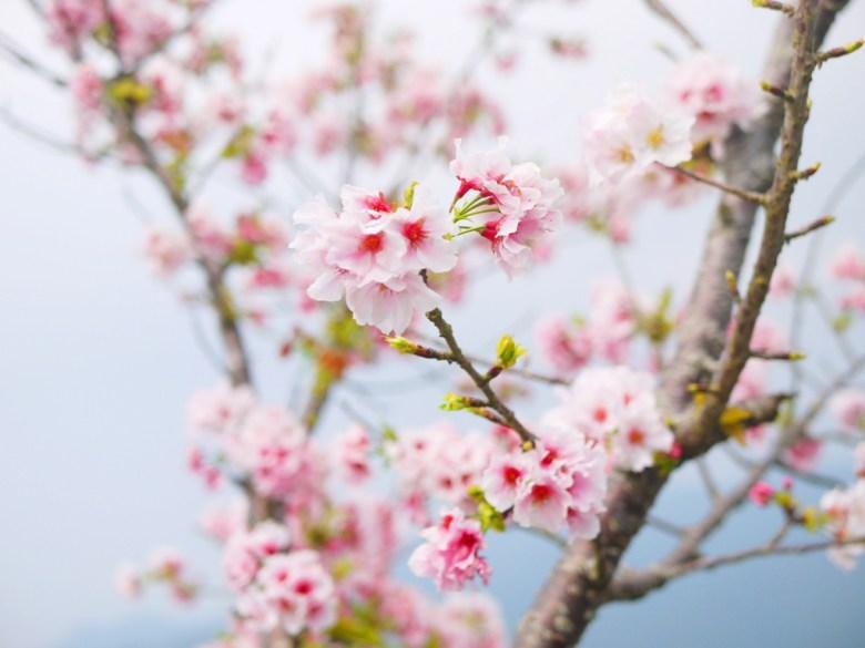 粉嫩粉紅 | 櫻與青空 | 淡粉紅吉野櫻 | 高山櫻花 | 南投八卦茶園 | 竹山 | 南投 | 巡日旅行攝