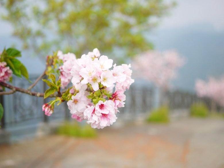 飽滿盛開的吉野櫻 | 像是粉紅繡球花般 | 南投八卦茶園 | 竹山 | 南投 | 巡日旅行攝